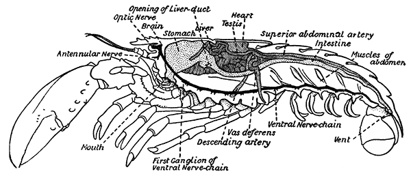 Crayfish Diagram For Kids